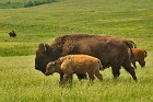 Scenes from the National Bison Range (2004)